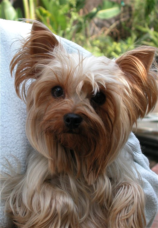 This Is Stephanie S Yorkie Martha A Retired Champion From Bejaze Yorkies Click Picture For Larger
